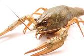 Alive crayfish — Stock Photo