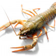 Alive crayfish — Stock Photo #2546168