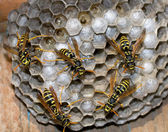 Nest of wasps — Stock Photo