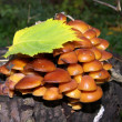 Agarics - Stock Photo