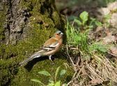 Pássaro da floresta — Foto Stock