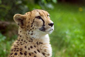 Snow leopard — Stock Photo