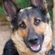 Shepherd Dog — Stock Photo #1226657