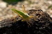 Locusts — Stock Photo