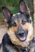 Vallhund — Stockfoto