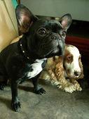 Dois cães — Foto Stock