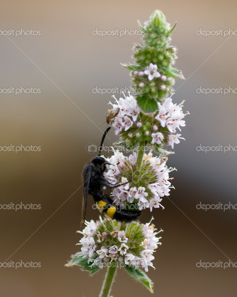 Two insects on the inflorescence mint. Life beetles. — Stock Photo #1227244