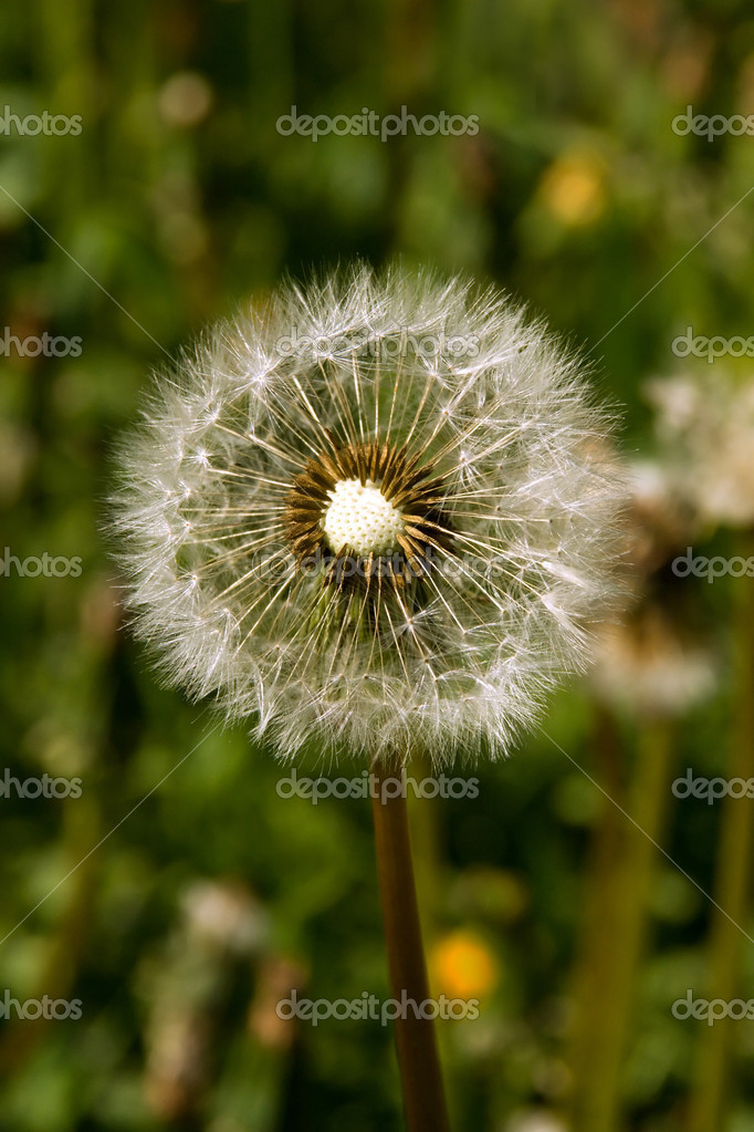 Summer, meadow. White Dandelion against the backdrop of green grass. — Stock Photo #1228004