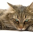 A lying cat on a white background. isola - Stock Photo