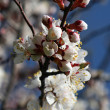 Spring branch of a blossoming tree 3 — Stock Photo #1105189