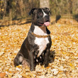 American staffordshire terrier against y — Stock Photo