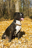 Portrait of the american staffordshire t — Stock Photo
