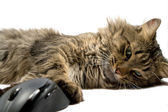 A cat and the computer mouse on a white — Stock Photo