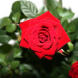 Royalty-Free Stock Photo: Velvet scarlet rose close