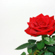 Velvet scarlet rose — Stock Photo