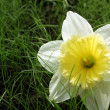 Narcissus on a green grass — Stock Photo