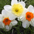 Royalty-Free Stock Photo: Bright narcissuses on a green grass