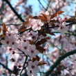 Flowering tree of peach - Stock Photo