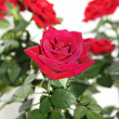 Velvet scarlet rose close — Stock Photo