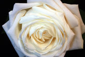 White rose on a black background. — Foto de Stock