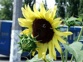 Bumblebee on the sunflower. — Stock Photo