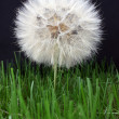 Royalty-Free Stock Photo: Large dandelion on a black background