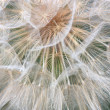 The big dandelion on a green background — Stock Photo