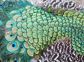 Background beautiful tail of a peacock. — Stock Photo