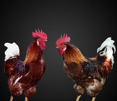 Two beautiful and bright cock separately — Stock Photo