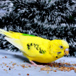Wavy parrot eats corn. — Stock Photo #1457200