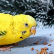 Stock Photo: Wavy parrot eats corn.