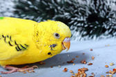 A wavy parrot eats a corn. — Stock Photo