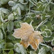 Royalty-Free Stock Photo: Close-up of dry leaves with rime.