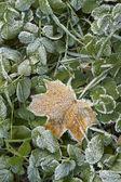 有霜的干树叶的特写. — 图库照片
