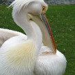 Pelican portrait — Stock Photo