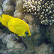 Masked Butterfly Fish always in pair — Stock Photo #1136564