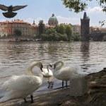 Swans on the river Vltava, Prague, near — Stock Photo