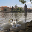 Swans on the river Vltava, Prague, near — Stock Photo #1136654