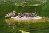Ducks family — Foto de Stock