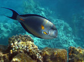 Sohal Acanthuridae Recife, Egito. — Fotografia Stock