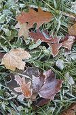 Close-up de folhas secas com geada. — Foto Stock