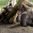 Stock Photo: Baby bears