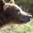 Portrait of a bear — Stock Photo