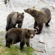 Brown bears — Foto de stock #1294739