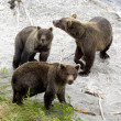 Photo: Brown bears