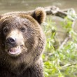 Stock Photo: Smile of a bear