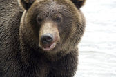 Bear. Close up — Stock Photo