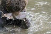 The bear has seized fish — Stock Photo