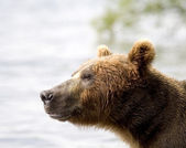 Brown bear,Kamchatka, — Stock Photo