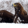 Hunting of a golden eagle — Stock Photo
